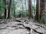 大杉権現へつづく木の根道